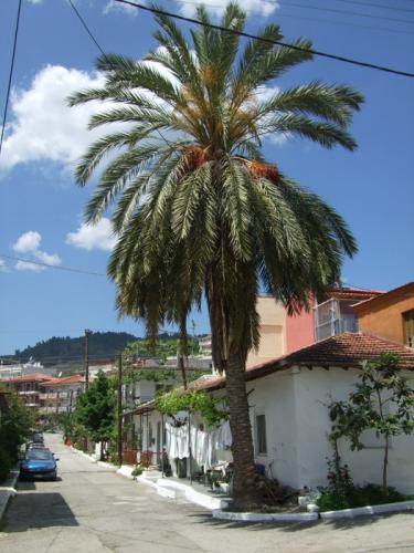 Palme unterhalb des Klosters von Sarti.