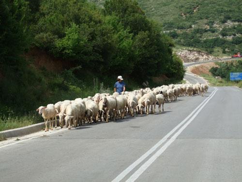 Schafherde auf dem Weg nach Perdika