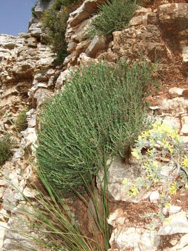 Überall auf dem Epirus zu finden: Wild wachsender Oregano (griechisch Regani)