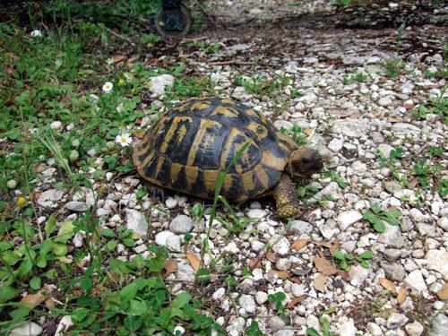 Griechische Landschildkröte als scheuer Wächter vor dem Tor zur Kirche