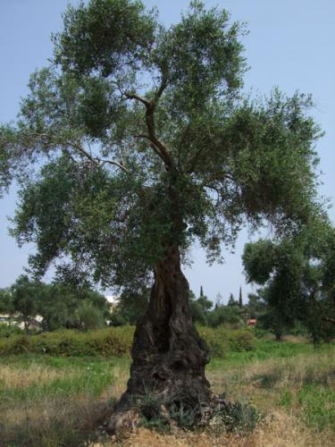 Einer der tausenden uralten Olivenbäume dieser ionischen Insel