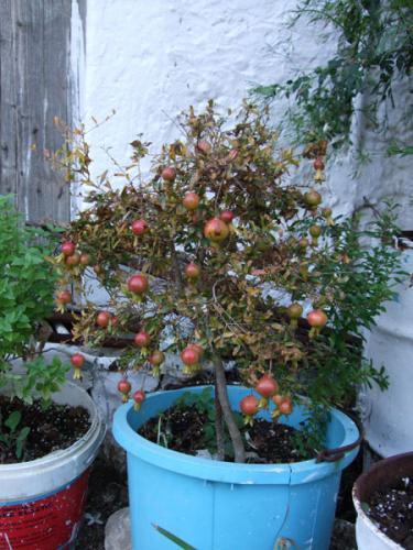 Mini-Granatapfelbaum in Kournas.