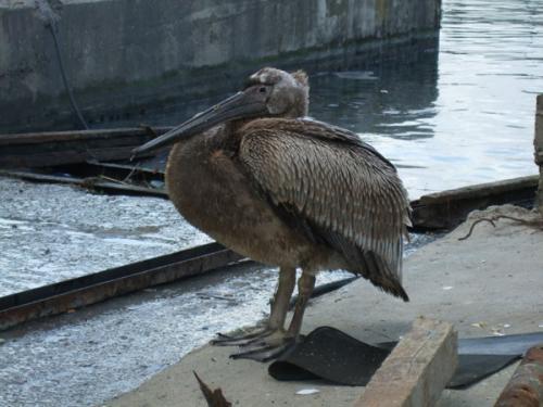 Ein Pelikan, welcher seelenruhig einem Bootsbauer bei seiner Arbeit zusieht.